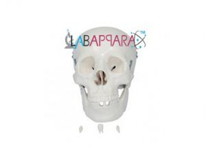 Adult Skull Life Size:- EDUCATIONAL EQUIPMENT » EDUCATIONAL MODELS » ANATOMICAL MODELS » SKELETON MODELS